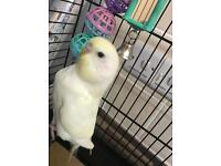Tame baby budgie with brand new cage for sale