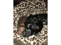 KC cocker spaniel puppies