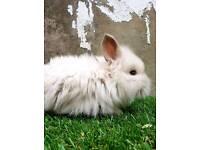 Baby double mane mini lion head bunny's
