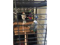 African Grey Baby 5 Months Old