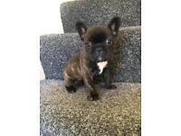 Kc reg superb quality French bulldog puppies