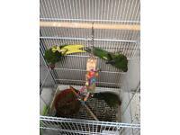 kakariki's birds for sale
