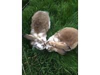 4 lovely female giant rabbits