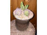 Cactus plants