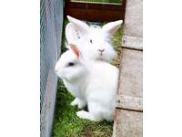 Beautiful lion lop rabbits for sale