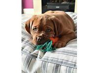 Dogue de bordeaux pup