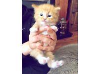 Beautiful half Persian kittens