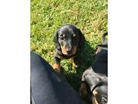 Minature Dacshund Puppies