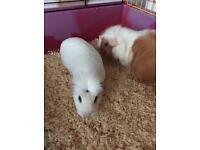 Two female guinea pigs!