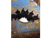 Puppies Cocker spaniel x patterdale