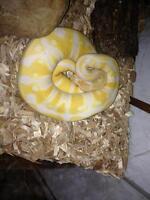 Lavender albino (yellow/white) ball python