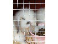 Baby male lionhead lop