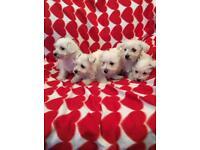 Westie/bichon pups