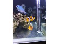 Large marine clown fish (coral)