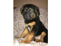 Adorable German Shepherd cross Barder Collie Puppies