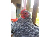 Pekin Bantam - Cuckoo - Chicken - Cockerel