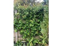7ft Star Jasmine | 20L | 'Trachelospermum jasminoides'
