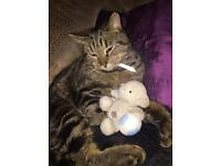 2 year old Male Tabby Cat free to a good home.