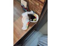 Full-Bred Pedigree YorkShire-Terrier