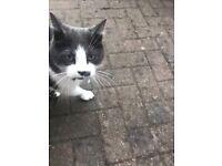 Black and white cat found