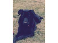 Black Germanshepperd Labrador cross