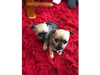 Chihuahua puppy's.