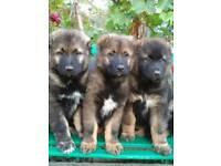 Caucasian sheepdogs
