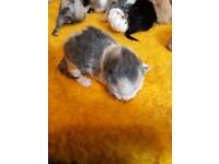 1/4 PERSIAN KITTENS MALES AND FEMALES