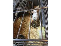 Year old female rabbit