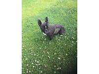 Black Brindle French Bulldog - girl