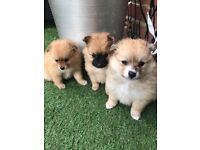 2 Pomeranian pedigree puppies girls Ready now