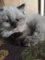 Unique flat faced Ragdoll Himalayan kittens. 1 male remaining
