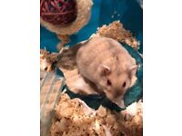 2 Dwarf Russian Hamsters with VILLA and HOT TUB included for each.