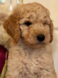 Standard poodle puppies- Ready Now