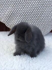 Pure bred blue Mini lop baby rabbit