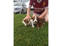 Miniature jack Russell's for sale