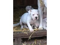 American Bulldog puppies Scott/Johnson bloodline