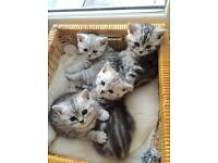 Beautiful Black Silver Tabby and Silver Spotted kittens
