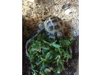 Horsefield Tortoise - 2 years old