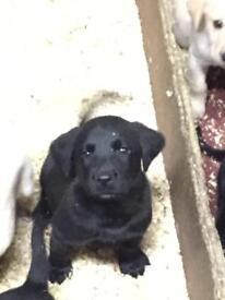 Labrador pure bred pups