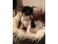 Short coat kc registered chihuahua READY NOW