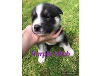 GSD x Husky Puppies