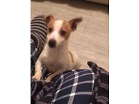 Male Jack Russell pup