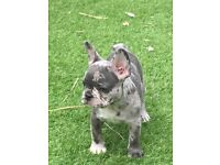 French bulldog puppies Merle