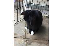 Male Mini Lop Eared Rabbit Needing a New Home