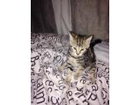Bengal kitten for sale Stockport