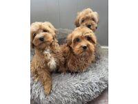 Red Cavapoo Puppies