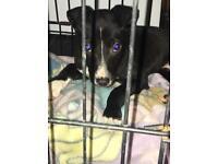Collie bull greyhound puppy