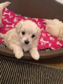 3 beautiful Maltipoo puppy for sale