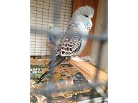 Budgies - Only £15